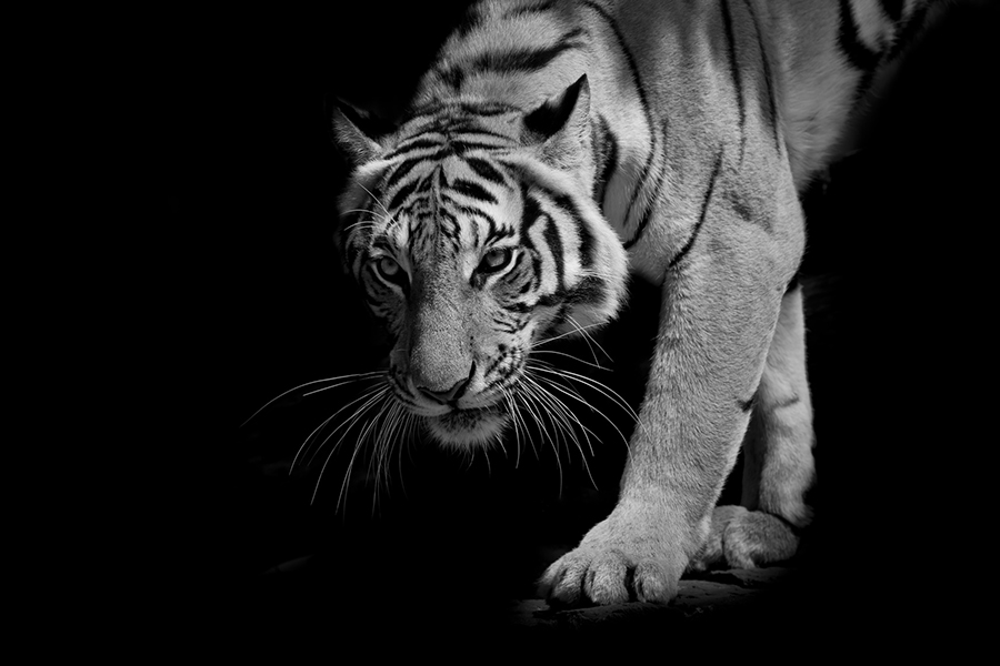 black & white tiger walking step by step isolated on black background